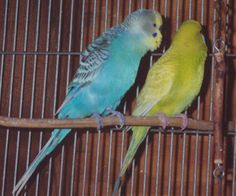 Image from http://feistyhome.phpwebhosting.com/budgie13.jpg.