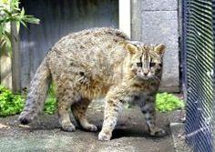 長崎県の離島対馬だけに生息し絶滅の危機にあるツシマヤマネコが井の頭自然文化園に来てから年が経過しました 園内で匹が元気に育ち繁殖に向けた取り組みも進んでいるそうですよ 貴重な動物なので大切にしていきたいですね tags[東京都]