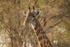 Giraffe, Animals, National Forest, Africa, Felt Giraffe, Animales, Animaux, Giraffes, Animal