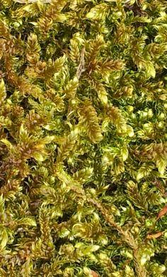 Mos / moss  in our garden