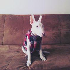 hipster bull terrier