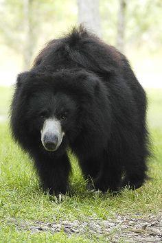 Sloth Bear   Melursus ursinus (Sloth Bear) Sloth Bear, Bear Cubs, Bears, Urso Bear, Spectacled Bear, The Bear Family, Baby Animals, Cute Animals, Bear Photos