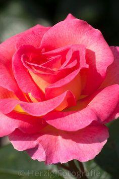 "Rosa ""Pink Paradise"" - Rose"