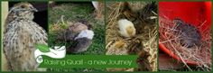 Discover Quail - from how to house, feed and much more.  Visit GardenUp green.