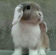 tricoloured rabbit