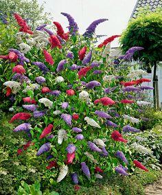 Arbustes aux papillons en mélange | Offre spéciale | Bakker France