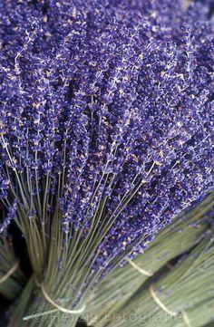Bildarchiv Lavendel by Herzig - Fotografie