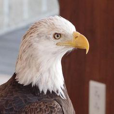 It's Not Work, It's Gardening!: Eagles!