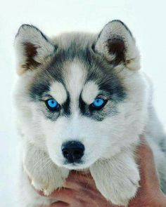 Wonderful All About The Siberian Husky Ideas. Prodigious All About The Siberian Husky Ideas. Siberian Husky Dog, Husky Puppy, Puppy Face, Pomeranian Husky, Baby Animals Pictures, Cute Animal Pictures, Dog Pictures, Animals Dog, Wild Animals