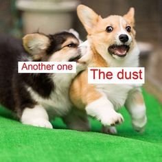 """corgi biting another corgi over grass and queens: """"another one bites the dust"""" song Corgi Funny, Funny Dog Memes, Cute Corgi, Funny Animal Memes, Cute Funny Animals, Funny Animal Pictures, Funny Relatable Memes, Cute Baby Animals, Funny Cute"""