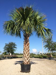 Cabbage Palm Cold Hardy
