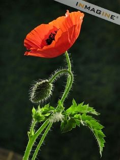 Poppy flowers with bud on black background photo