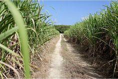 La canne à sucre à l'île Maurice. http://s5.nouvellesiles.com/gallery_images/site/577/68396/74173/74174/74187.jpg