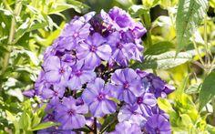 Flammenblume (Phlox) Sorte / Phlox (Phlox) species