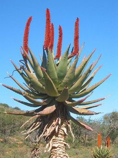Latest Cost-Free cactus plants south africa Style Plants along with cacti include the great residence interior decoration to get minimalists and pattern setter Cacti And Succulents, Planting Succulents, Cactus Plants, Flowers Nature, Beautiful Flowers, African Plants, Garden Animals, Water Plants, South Africa