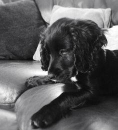 Cocker Spaniel puppy - Molly 17 weeks
