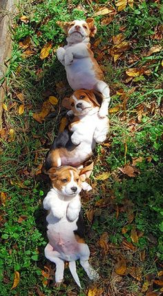 """Beagle Puppies - the middle one is like, """"Uumm, take the damn picture, this is super awks."""""""