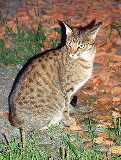 Metal Refrigerator Magnet Brown Spotted Ocicat Cat Sitting On Rock Cats Ocicat, Cat Breeds List, Fluffy Cat Breeds, Domestic Cat Breeds, Cat Aesthetic, Warrior Cats, Cat Sitting, Beautiful Cats, Animal Kingdom