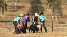 #goatvet likes this Miniature Goat Race,  Junabel 2014