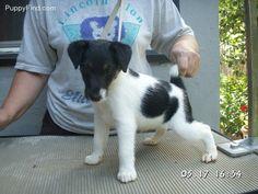 Smooth Fox Terrier...my future gopher killer!!