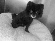 #FOUNDDOG 11-23-13 #PLYMOUTH #MA MALE #POMERANIAN PLYMOUTH ANIMAL SHELTER 508-888-1186 https://www.facebook.com/photo.php?fbid=606299212772496&set=a.107138139355275.13580.106570126078743&type=1