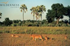 Botswana offers one of the best wildlife safaris in Africa. A Botswana Safari will delight all safari goers, from the crystal waters of the Okavango Delta to the dry pans of the Kalahari. Okavango Delta, Wildlife Safari, Game Reserve, Wild Dogs, African Safari, Africa Travel, Habitats, Lions, Wilderness
