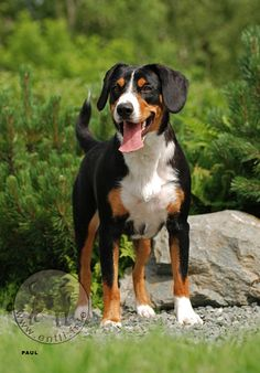 Appenzell Mountain Dog (Appenzeller Sennenhund) (Appenzell