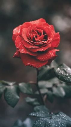 i chose this picture for love. a red rose represent love. a rose is a romantic flower to give someone special. Phone Backgrounds, Wallpaper Backgrounds, Iphone Wallpaper, Flower Wallpaper, Mobile Wallpaper, Beautiful Roses, Beautiful Flowers, Image Nature, Cute Wallpapers