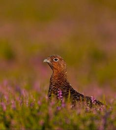 Grouse in Heather.  Scotland