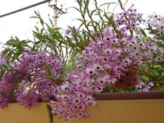 Dendrobium nobile we had masses in our garden. the fragrance was overwhelming! Dendrobium Nobile, Outdoor Gardens, Fragrance, Flowers, Plants, Outdoor Ideas, Cactus, Gardening, Wall