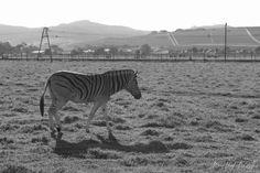 Zebra at Delheim Wine Estate in Stellenbosch, Cape Town. I Site, Cape Town, Wine, Animals, Animales, Animaux, Animal, Animais