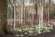 Snowdrops beneath a grove of silver birch trees in the Winter Garden at Dunham Massey, Cheshire.