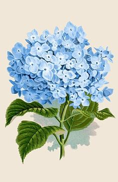 Instant Art Printable Download - Blue Hydrangea Botanical - The Graphics Fairy