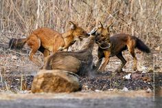 A teamup dholes biting a female shamba deer.