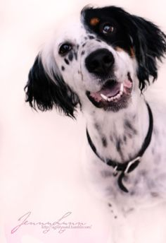 English Setter Dogs Pinterest Will have, English