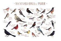 Backyard Birds of Maine Field Guide Art Print. This watercolor painting features 25 Backyard Birds of Maine as a field guide chart. It features the following birds: American Crow, American Goldfinch, American Robin, American Tree Sparrow, Black-capped Chickadee, Blue Jay, Common Grackle, Common Redpoll, Cooper's Hawk, Dark-eyed Junco, Downy Woodpecker, European Starling, Hairy Woodpecker, House Finch, House Sparrow, Mourning Dove, Northern Cardinal, Pileated Woodpecker, Pine Siskin…