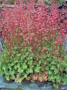 Heuchera 'Santa Ana Cardinal' / Santa Ana Cardinal Coral Bells california native - Google Search