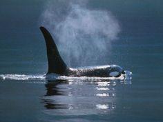 Hábitat de las ballenas orcas » ORCAPEDIA