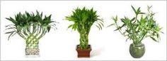 Bambu rejeki ini, menurut feng shui, dapat membawa keberuntungan dan rejeki.