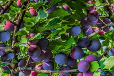 Discover Great Dwarf Fruit Trees You Can Grow in Any Yard