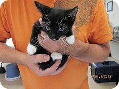 URGENT! Greensboro, NC - Domestic Shorthair. Meet Jangles, a cat for adoption. Domestic Shorthair Color: Black & White Or Tuxedo Age: Young Sex: Male ID#: 5732779 Hair: Short Act quickly to adopt Jangles. Pets at this rescue group may be held for only a short time. http://www.adoptapet.com/pet/9002477-greensboro-north-carolina-cat