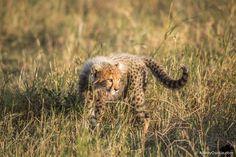 cheetahs 26