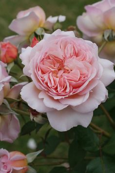 Strawberry Hill English Rose – Flower Garden Idea