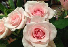 タイタニック Hana, Rose, Flowers, Plants, Pink, Plant, Roses, Royal Icing Flowers, Flower