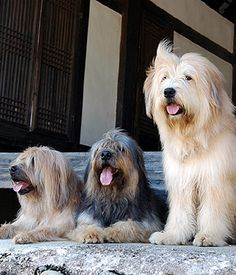 The Sapsaree's friendly outer appearance is matched by its innate patience and congeniality towards other animals and human beings. Animal Room, Man And Dog, Medium Dogs, All Dogs, Dog Breeds, Puppies, Pets, Pictures, Animals