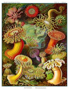Vintage Ernst Haeckel Sea Anemone Art Print -  Victorian Era Science Illustration In Lush Colors On Archival Quality Paper by AdamsAleArtPrints on Etsy https://www.etsy.com/listing/105625554/vintage-ernst-haeckel-sea-anemone-art