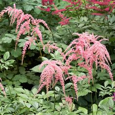 Astilbe  Arching 'Ostrich Plume'
