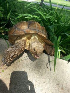 ♥ Pet Turtle ♥  Sulcata tortoise