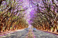 los-15-tuneles-arbol-mas-bonitos-del-mundo-paseo-jaracandas-sudafrica