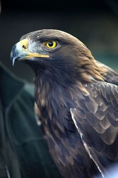 Wild Golden Eagle / Golden eagle (Aquila chrysaetos) is one of the best-known birds of prey in the Northern Hemisphere Pretty Birds, Beautiful Birds, Animals Beautiful, Aigle Animal, Rapace Diurne, Animals And Pets, Cute Animals, Golden Eagle, Big Bird